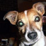 Chien Jack Russell Terrier Tekila