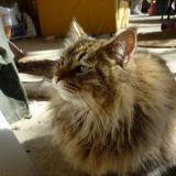 Chat Maine Coon Clochette