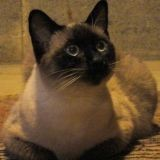Chat Siamois Kawaii