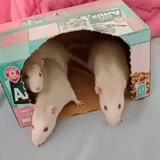 Rongeur Rat 3 Soeurs Rattes