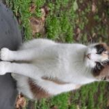 Chat American Wirehair Tite-Folle