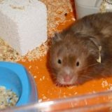 Rongeur Hamster Pattapouff