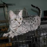 Chat Ocicat Clochette