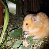 Rongeur Hamster Abricot