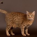 Chat Ocicat Adam Junior