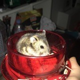 Rongeur Hamster Aiko