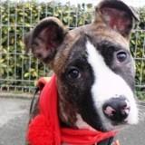 Chien Staffordshire Bull Terrier Alf