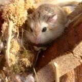Rongeur Hamster Alolah