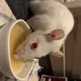 Rongeur Rat Alpha