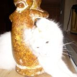 Chat American Curl Babouche