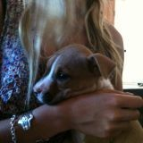 Chien American Staffordshire Terrier Huki