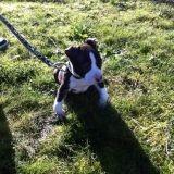 Chien American Staffordshire Terrier Shanks