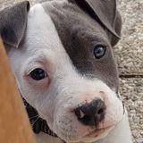 Chien American Staffordshire Terrier O'Madgic Dit Madgic