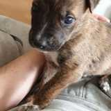 Chien American Staffordshire Terrier Prince