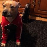 Chien American Staffordshire Terrier Laika