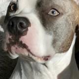 Chien American Staffordshire Terrier Milho