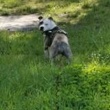 Chien American Staffordshire Terrier Hyzia