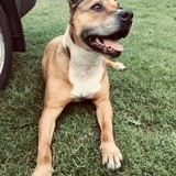 Chien American Staffordshire Terrier Djina