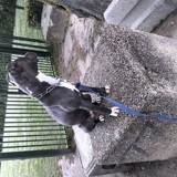 Chien American Staffordshire Terrier Olya