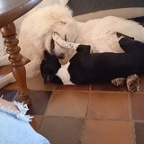 Chien American Staffordshire Terrier Maya