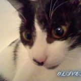 Chat American Wirehair Oliver