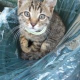 Chat American Wirehair Sweety