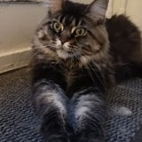 Chat Maine Coon Annabelle