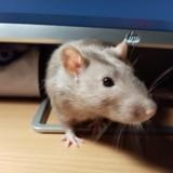 Rongeur Rat Arthur