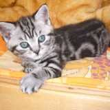 Chat British Shorthair Arya