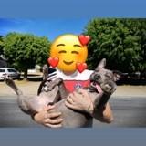 Chien American Staffordshire Terrier Athéna