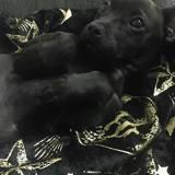 Chien Jack Russell Terrier Atlas