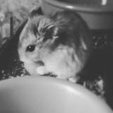 Rongeur Hamster Azzaro