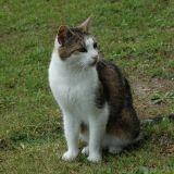 Chat Gouttière Noisette