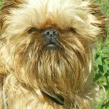 Chien Griffon bruxellois Baboon