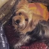 Chien Silky Terrier Balto