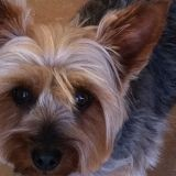 Chien Silky Terrier Banjo