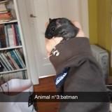Rongeur Gerbille Batman