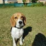Chien Beagle Youpi