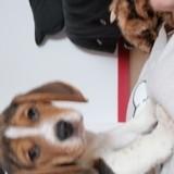 Chien Beagle Pumba