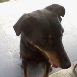 Chien Beauceron Betsy