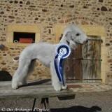 Chien Bedlington Terrier Jaslane Des Archanges D'Orphée