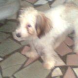 Chien Petit chien lion Beethoven