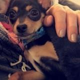 Chien Chihuahua Bella