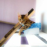 Chat Bengal Oups