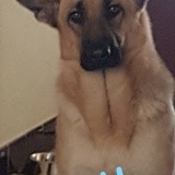 Chien Berger allemand Molly