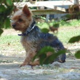 Chien Yorkshire Terrier Betty
