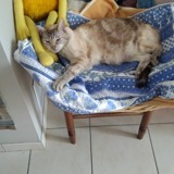 Chat Siamois Bianca