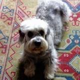 Chien Dandie Dinmont Terrier Bianca