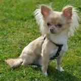 Chien Chihuahua Bijoux