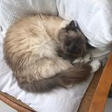 Chat Birman Nuage